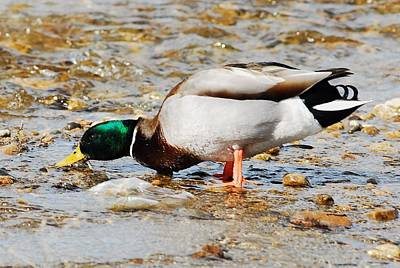 Duck Photograph - Gimmee A Drink by Don Mann