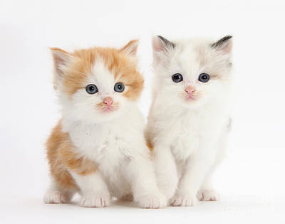 Ginger And Colorpoint Kittens Art Print