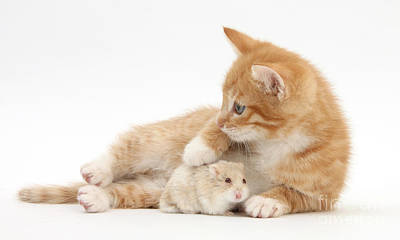 Hamster Baby Photograph - Ginger Kitten And Russian Hamster by Mark Taylor