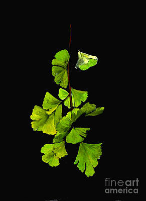 Painting - Ginkgo Biloba Leaves by Sibby S