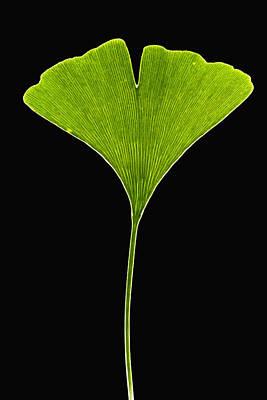 Mar2613 Photograph - Ginkgo Leaf by Piotr Naskrecki