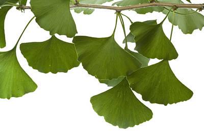 Mar2613 Photograph - Ginkgo Leaves by Piotr Naskrecki