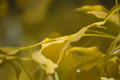 Photograph - Ginko 2 by Lisa Missenda