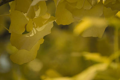 Photograph - Ginko 3 by Lisa Missenda