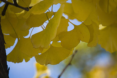 Photograph - Ginko 5 by Lisa Missenda