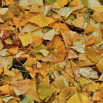 Photograph - Ginko Leaves Meet November by Michael Flood