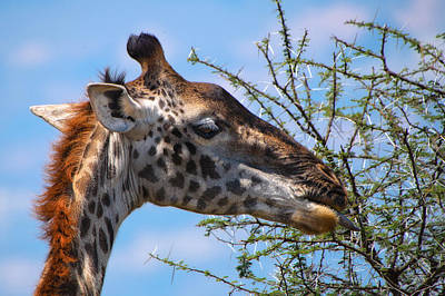 Photograph - Giraffe - Girafe by Michel Legare