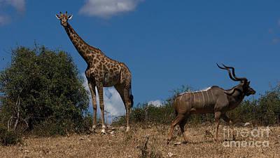 Giraffe And Kudu Art Print by Mareko Marciniak