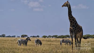 Photograph - Giraffe And Zebra by Mareko Marciniak