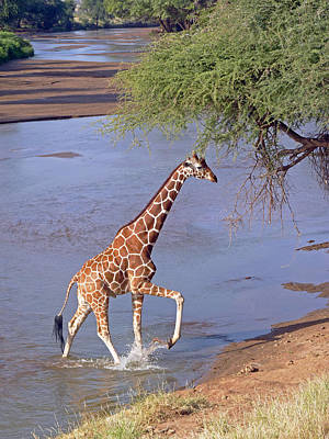 Photograph - Giraffe Crossing Stream by Tony Murtagh