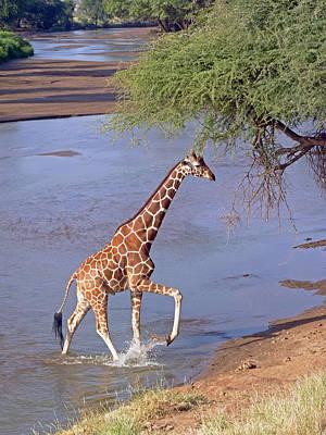 Giraffe Crossing Stream Art Print