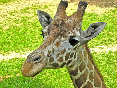 Photograph - Giraffe Face by Eve Spring