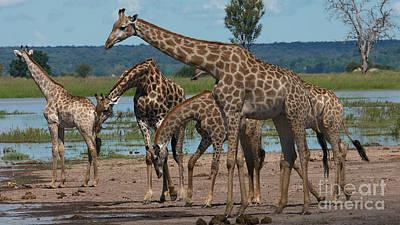 Photograph - Giraffe Family by Mareko Marciniak
