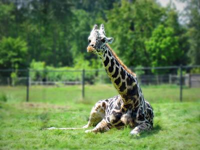 British Columbia Photograph - Giraffe II by Eva Kondzialkiewicz