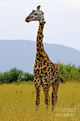 Nature Digital Art - Giraffe In Masai Mara by Pravine Chester