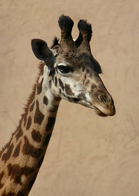 Photograph - Giraffe by Kelly Hazel