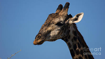 Photograph - Giraffe by Mareko Marciniak