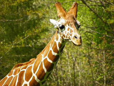 Photograph - Giraffe Portrait by Eve Spring