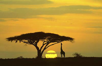 Giraffe Serengeti National Park Sunrise Art Print