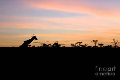 Sunset Photograph - Giraffe Silhouette At Sunset by Darcy Michaelchuk