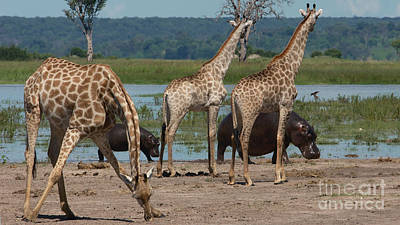 Photograph - Giraffes And Hippos by Mareko Marciniak