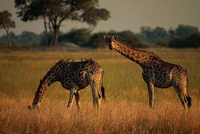 Giraffes Graze On The African Plain Print by Beverly Joubert