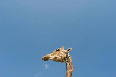 Giraffe Wall Art - Photograph - Giraffe's Head by Tsuneo Yamashita