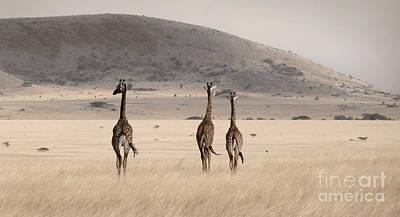 Photograph - Giraffes by Tina Broccoli