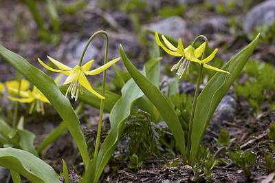 Fawn Lily Photograph - Glacier Lilies (erythronium Montanum) by Bob Gibbons