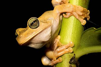Osa Wall Art - Photograph - Gladiator Frog (hyla Rosenbergi) Holding On To Green Branch, Osa Peninsula, Costa Rica by Oxford Scientific / Photolibrary