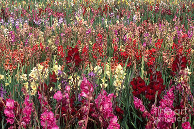 Gladioli Garden In Early Fall Art Print by Yva Momatiuk and John Eastcott and Photo Researchers