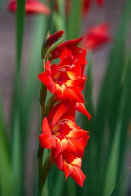 Fornication Photograph - Gladiolus Illuminated by Douglas Barnett
