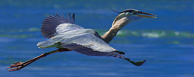 Fish Photograph - Gliding Great Blue Heron by Sebastian Musial