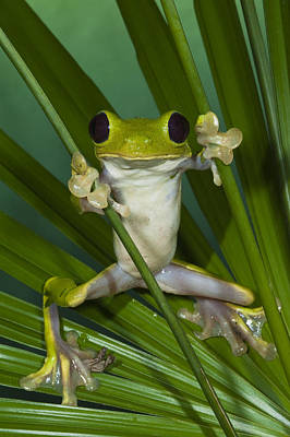 Photograph - Gliding Leaf Frog Agalychnis Spurrelli by Pete Oxford