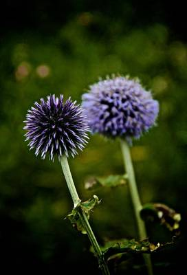 Purple Fireworks Photograph - Globe Thistle by Odd Jeppesen
