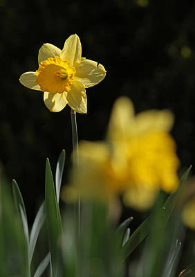 Glorious Daffodil Art Print by Juergen Roth