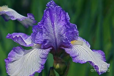 Photograph - Glorious Iris by Byron Varvarigos