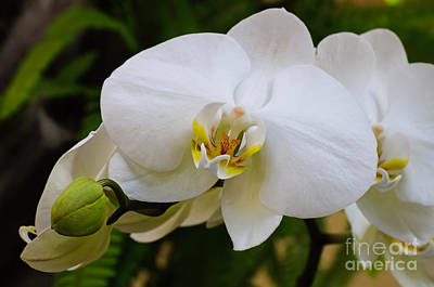 Orchid Photograph - Glorious White Orchid by Andee Design