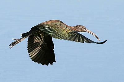 Photograph - Glossy Ibis by Ira Runyan