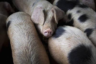 Gloucester Old Spot Pigs On A Farm In The Uk Art Print by Stephen Shepherd