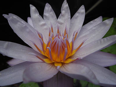 Photograph - Glowing Gold Lotus Center I by Peg Toliver