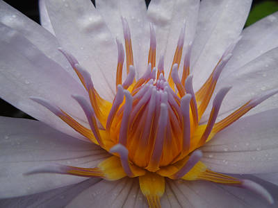 Photograph - Glowing Gold Lotus Center II by Peg Toliver