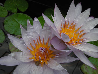 Photograph - Glowing Lotus Pair by Peg Toliver