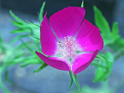 Becky Photograph - Glowing Poppy by Becky Lodes