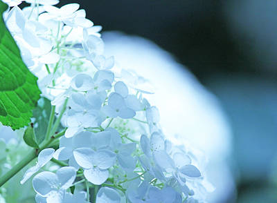 Glowing White Hydrangea Art Print by Becky Lodes
