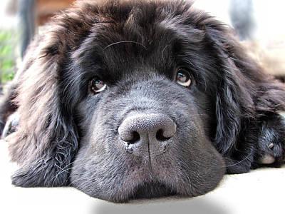 Newfoundland Puppy Photograph - Glum by Gary Yates
