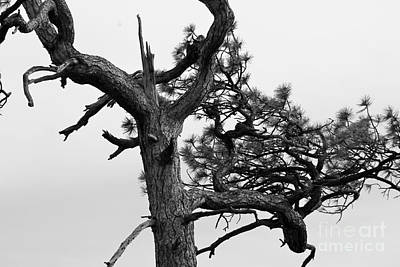 Photograph - Gnarly Ponderosa by Pamela Walrath