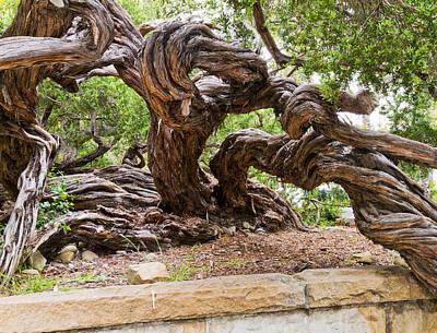 Gnarly Tree I Art Print by Bernard  Barcos