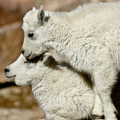Goat Babies Art Print