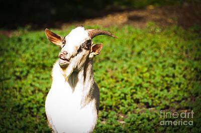 Modern Man Music - Goat smiles by Cheryl Baxter